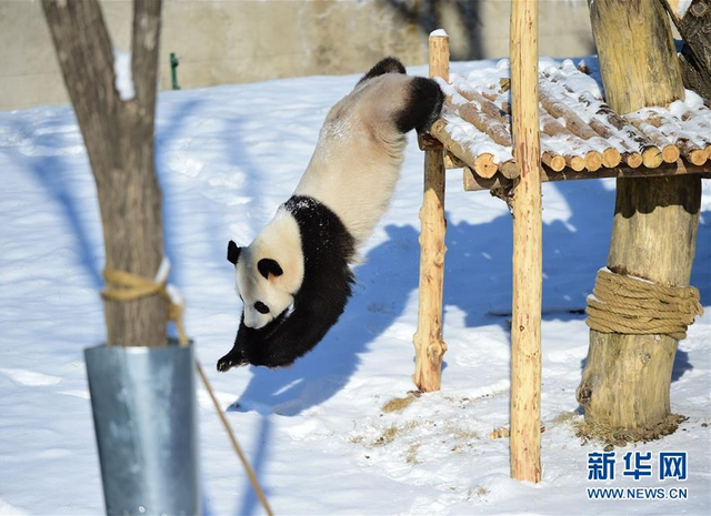 1月9日,沈阳森林动物园的大熊猫在雪中嬉戏玩耍,享受雪趣。