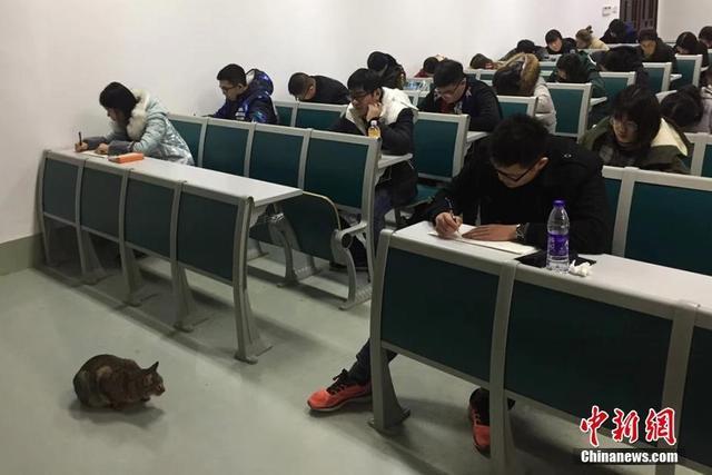 """1月9日,生活在南京农业大学校园内的一只在考场内""""巡逻监考""""的猫被拍摄后,照片上传至该校校园网,引发大学生和网友们的留言和转载,瞬间成为""""网红""""。"""