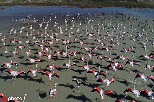 """图兹湖上的火烈鸟""""军队"""""""