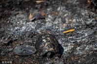 雅典发生山火 乌龟被烧焦