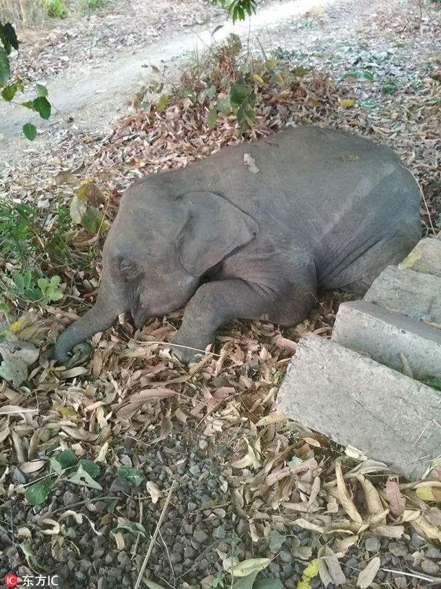 2018年4月16日,印度奥里萨邦贾苏古达县,当地发生一悲剧性事件,1头成年雄性野象带着2头雌性野象以及1头小象穿梭在铁道上觅食,被一列高速行驶的货运列车撞飞。