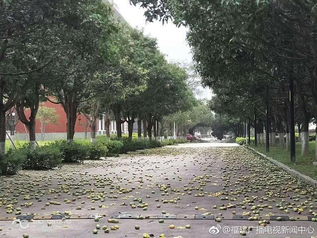 7月11日,玛利亚台风在福建登陆,带来狂风暴雨,由于福州市很多道路景观树都是芒果树,大风把芒果都吹掉了。