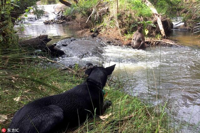 """2017年10月12日报道(具体拍摄时间不详),27岁的摄影师Jackson Vincent在澳大利亚北部的玛格丽特河边遛狗,他和爱宠Dharma几乎同时发现了一头动物中的""""全能王""""——身高近1.95米,体重达101公斤的袋鼠。供图:东方IC"""