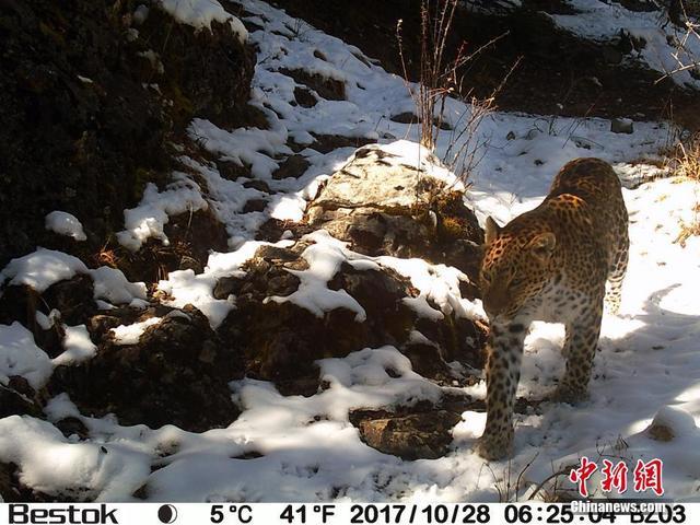 在青海省玉树藏族自治州囊谦县官方和山水自然保护中心共同开展的生物多样性监测中,26台红外自动相机共在7个点位捕捉到了21次金钱豹,如此之多的红外相机监测数据,表明此地是三江源区域金钱豹重要栖息地。山水自然保护中心 供图