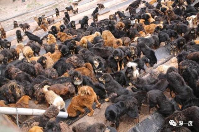 """近年来,曾动辄售价千万的藏獒神话破灭,寄希于獒市捞金的人们逐渐抛弃了手中的藏狗。无家可归的藏狗游荡在寺庙、街道和村庄。它们袭击路人,传染疫病,猎杀家畜,甚至与雪豹抢食。去年11月,囊谦县一位8岁的女童,遭流浪狗袭击身亡。曾经以忠勇著称的藏狗,已然成为高原灾害。民间和政府一同建起流浪狗收容所,号召牧民领养。但数量庞大的流浪狗群,让收容所""""越收越多""""或""""资金不足""""的困境。更残酷的一幕幕仍在继续,有目击者称,曾在一流浪狗收容所内,见到一只狗叼着另一只狗的后腿——""""狗吃狗在大型的收容中心比较常见。""""图为毛庄乡收容所的流浪狗。来源:北青深一度"""