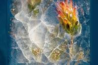 """南非摄影师制作""""冰块鲜花 """""""