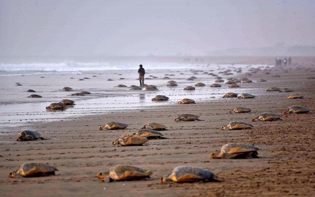 当地时间2017年2月16日,印度布巴内斯瓦尔西南部的Rushikulya海滩,大量太平洋丽龟在岸上产卵。供图:视觉中国