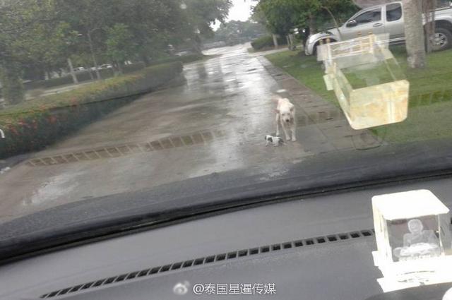 2017年5月19日,泰国网络平台上大量转载着一组图片,图中,泰国南部一辆警车在巡逻,突然遇到前方白色流浪狗挡住去路,无法闪避之下,警方只好下车观察,没想到白色流浪狗口中叼着一只腹部受伤的小狗。