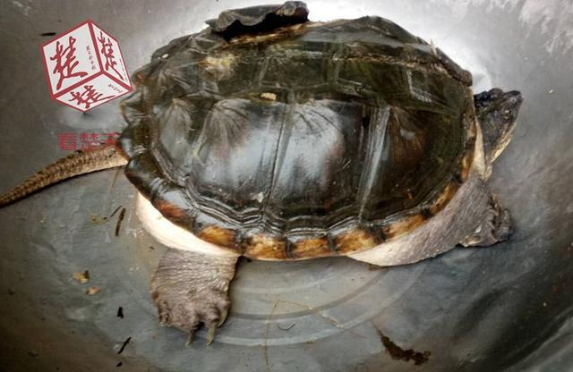 武汉野生动物园_湖北一荷塘现大鳄鱼龟 专家:莫放生,吃掉_新浪图片