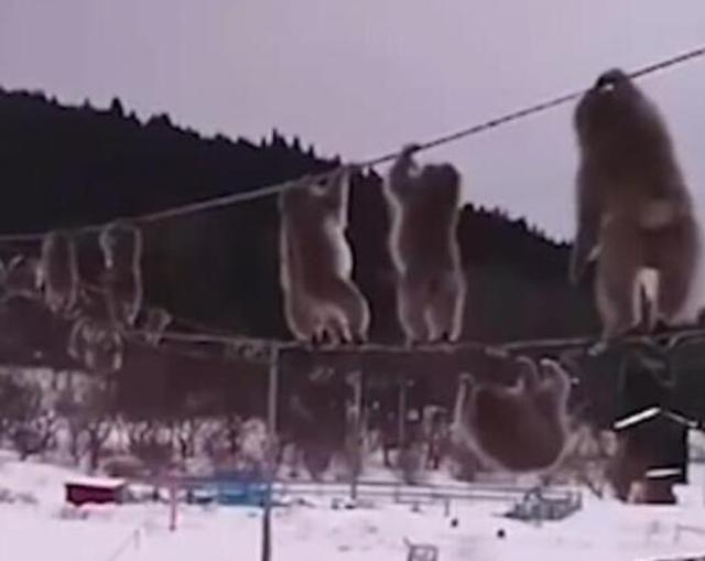 近日,一名日本网友在Twitter上发布了一则有趣的视频,一群猕猴像杂技演员一样灵活地行走在户外的电话线上。文字来源:中青网