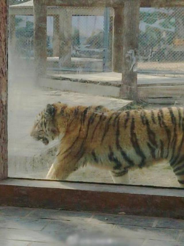 """近日,河南商丘市人民动物园被爆出因有游客用弹弓钢珠打鸟,失手打中园内老虎园区一块玻璃墙,以致玻璃出现大面积裂痕,""""老虎要是真跑出来,后果不堪设想""""。"""