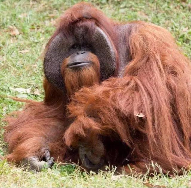 """最近,中外各大媒体,最近发布了一则猩猩的""""讣文"""":一只39岁的红毛猩猩Chantek,离世,享年39岁。"""