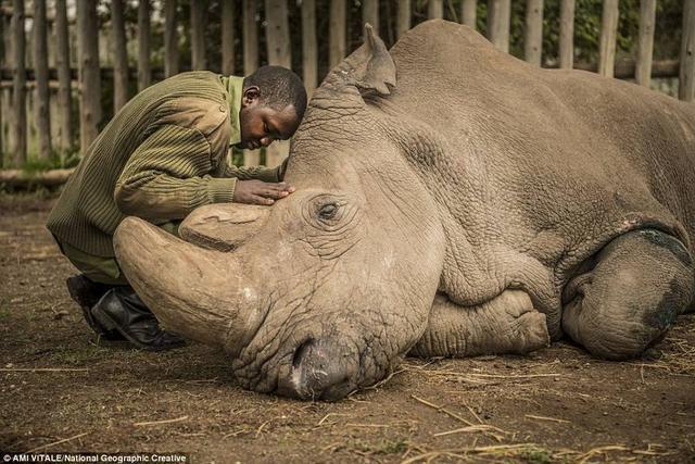 """2018年3月20日,最后一头雄性北白犀死去了。这只北白犀的名字叫""""苏丹"""",1973年出生在尚贝公园(地处今天的南苏丹)被捕获,整个生命都是在圈养中度过的。为防偷猎,它的晚年生活在武装警卫之下。45岁的它已经到了这个物种极限年龄,肌肉不断退化,身上全是无法愈合的伤口。生前最后一个月,它已经无法正常站起来,饲养员决定对它进行安乐死。"""