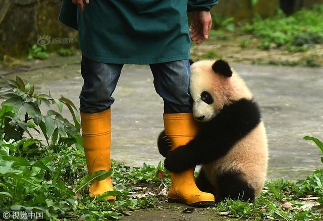 2017年2月24日,在成都大熊猫繁育研究基地,有一群人,他们像照顾自己的孩子一样,每天守护着幼年大熊猫,给它们喂奶、陪它们玩耍。就是喜欢抱大腿!。陈超(重庆分社)/中新社/视觉中国