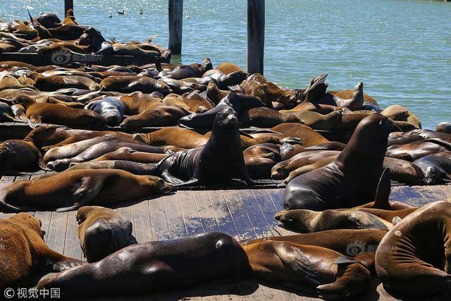 当地时间2018年9月11日,美国旧金山,大批海豹趴在渔人码头39号码头上晒太阳,引游人驻足拍照。