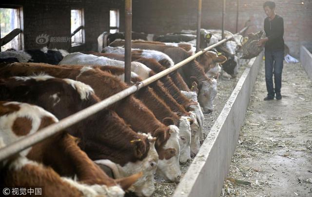 """2018年10月8日,辽宁阜新,""""人有失手,马有失蹄""""。对于一位常年与牛打交道的农民老刘来说,因为自己的一个小小疏忽,让他深深体会到了什么叫""""初生牛犊不怕虎"""",一头刚刚买到家的名贵牛犊竟然从牛棚的窗户口""""越狱""""了。截止到10月10日,这个出逃多日的小牛犊仍未被追回。"""