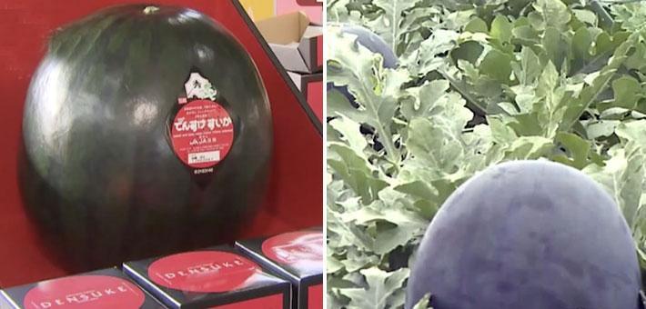 全球最贵西瓜!11公斤卖4.8万元