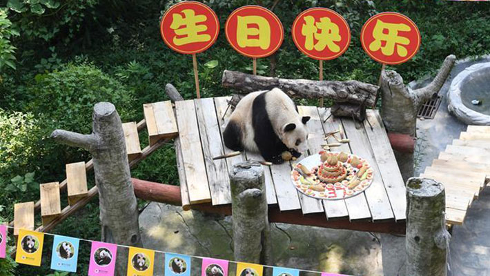 世界最年长大熊猫迎37岁生日