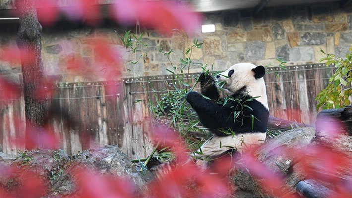 """旅美大熊猫""""贝贝""""启程回国"""