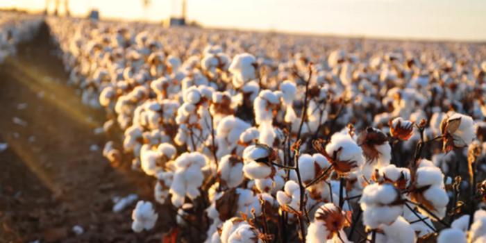 新疆棉花遭抵制:一场意在绞杀中国棉纺产业的政治博弈?_手机新浪网