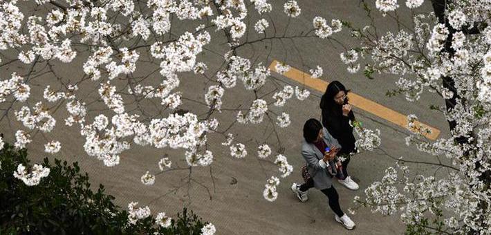 武汉大学:樱花引客来
