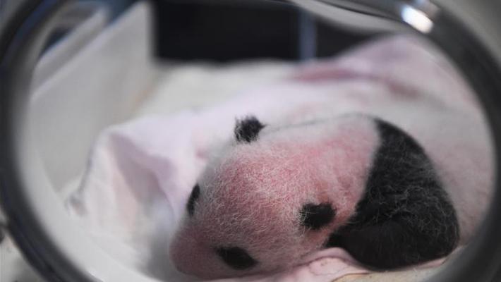 重庆两只大熊猫同日生双胞胎
