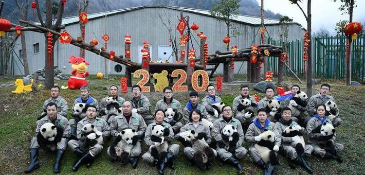 新生大熊猫宝宝集体亮相贺新春