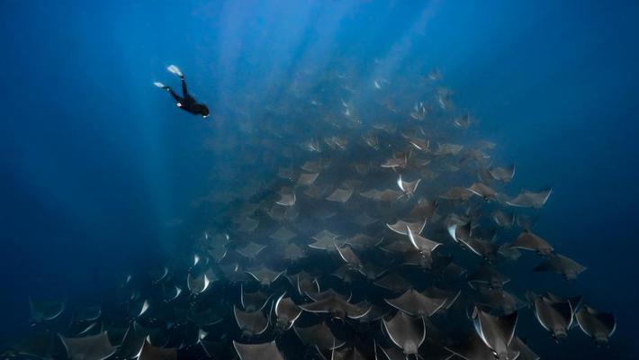 潜水员与数千条蝠鲼同游 画面震撼