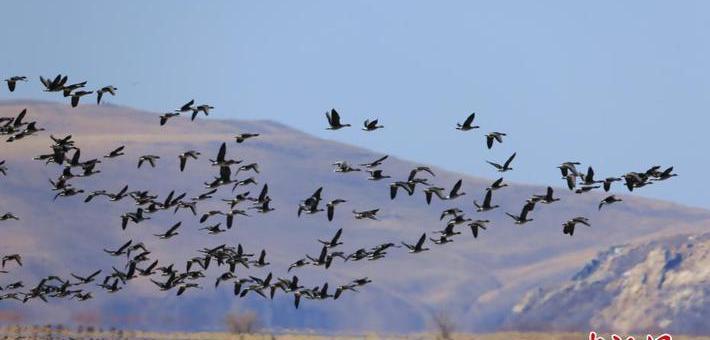 内蒙古呼伦贝尔迎数万只北迁候鸟