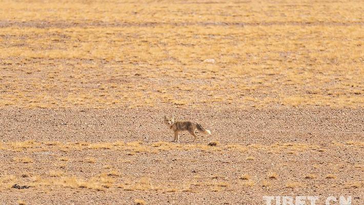 """藏狐:努力奔跑的""""表情包"""""""