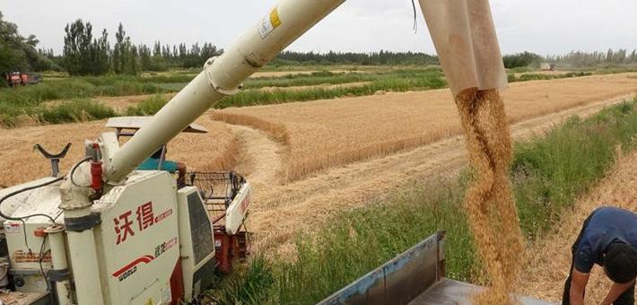 新疆巴州50万亩冬小麦收割