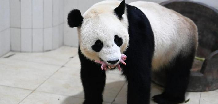 2021年大熊猫新生幼仔存活率百分之百