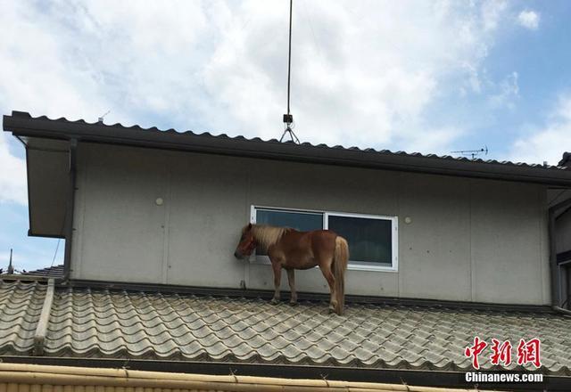 近日,日本境内遭遇洪涝灾害,人员伤亡和财产损失甚重。上周五(7月6日),一匹小马在洪水中失踪。周一(7月9日),人们发现了这匹失踪的小马——它竟然出现在一户民居的屋顶上!没人知道它是怎么上去的。