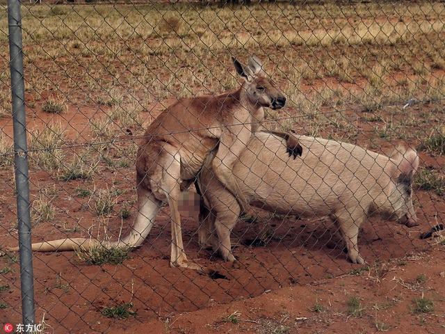 """作为澳大利亚特产的袋鼠大概是动物界最不正经的国宝了,开心时随便卖个萌能把你电晕,犯懒时""""人鱼坐""""撩得你心神不宁,一言不合互相干架也会拳打脚踢,徒手怼人类也是令人忍俊不禁,下面就一起来一探袋鼠君的多面魅力吧!"""