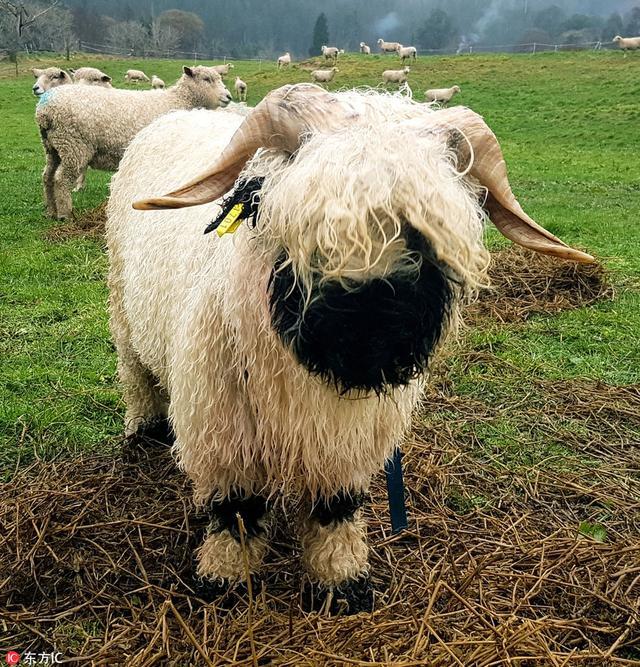 世界上最可爱的羊又来圈粉啦!从前只能在瑞士瓦莱州和苏格兰高地见到的萌神们如今可以在全球多地培育了。