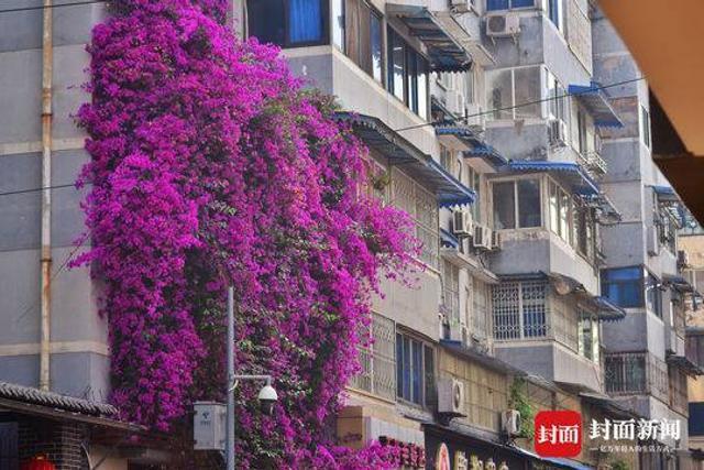 成都祥和里是一条宽不到5米多小街,近日,小街上的紫色鲜花瀑布迎来更多的追捧者。123号大院门前这株三角梅高约12米,它又如期开出了如瀑布般壮观的花朵,艳丽的紫色足足覆盖了4层楼面的大半。没想到几年时间,原本一根小苗居然越长越茂密,一眨眼就爬满了4层楼,壮观得让人惊叹。封面新闻记者 谭曦 摄影报道
