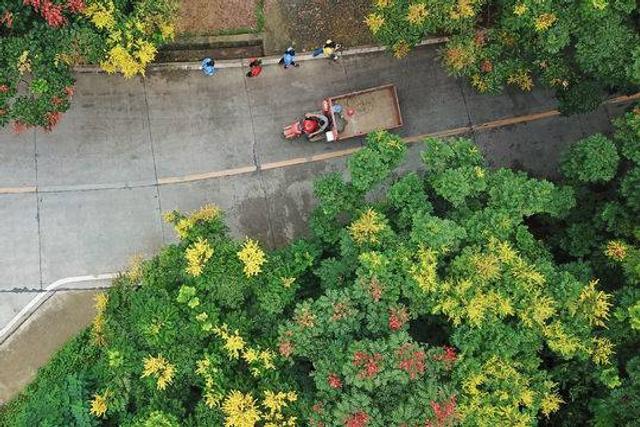 这个季节,在通往成都龙泉山金龙寺的山路两旁,栾树花盛开,从空中鸟瞰,一条路上绿叶打底,花开金黄,配上红果,三色调和,颜色极美。栾树,无患子科栾树属植物,和著名水果龙眼、荔枝同科。这种观赏性极强的树木在春季的时候,树叶多是红色,夏季的时候开满黄花,秋季的时候叶子会变黄,并长有紫红色的灯笼状的果实。封面新闻 谭曦摄影