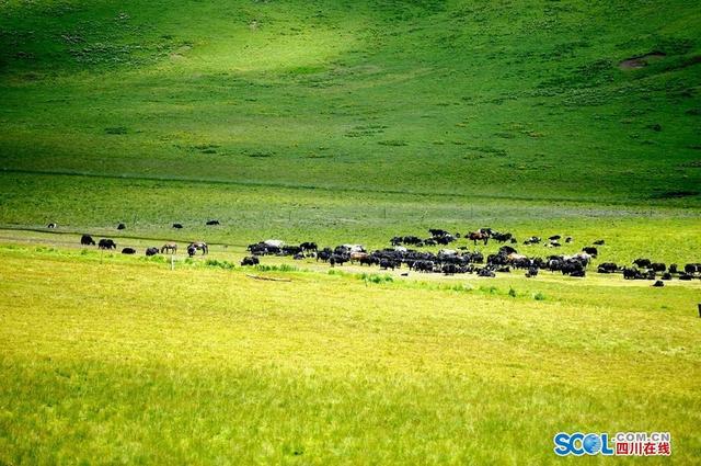 四川在线消息(记者 衡昌辉 摄)秋日,阿坝县强力推进草原生态文明建设,通过禁牧休牧、退牧还草、鼠虫害防治、人工种草等综合措施,草原生态环境得到了有效保障。县乡、村组织成立的草原管护联动网络对草原进行了有效的监督管理。植被生态优良、风景如画,让这里宛若天堂圣景,吸引了众多省内外游客前来观光,感受高原美景。