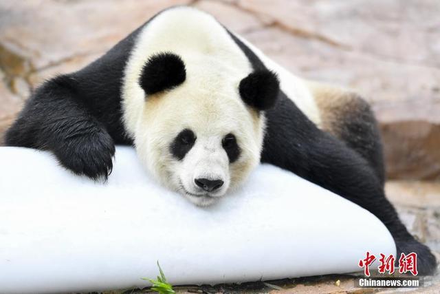 """5月11日,生活在广州长隆野生动物世界的大熊猫""""婷婷""""趴在冰块上消暑。大熊猫""""婷婷""""于2008年6月因汶川大地震移居广州长隆野生动物世界,随后与大熊猫""""琳琳""""配对产下大熊猫""""悦悦""""。2018年2月24日,""""婷婷""""在卧龙神树坪基地分别与大熊猫""""武冈""""""""兰仔""""成功配对,静待二胎佳音。图据中新网"""