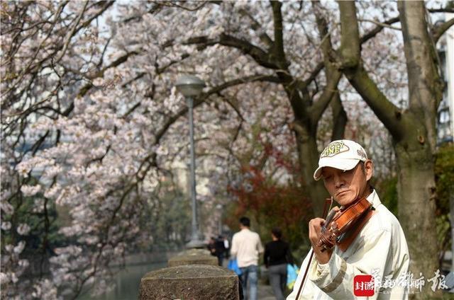 11日春光明媚,在成都红星桥府河畔,泡桐花绽放,在泡桐花下,一位市民拉着小提琴,优扬的琴声在垂满盛泡桐花、静静的水面上回响,仿佛是一幅配乐的春天水粉画。拉小提琴多年的盛先生,特意从西门来到红路桥,就是来享受春天,用琴声赞美春天。图据封面新闻