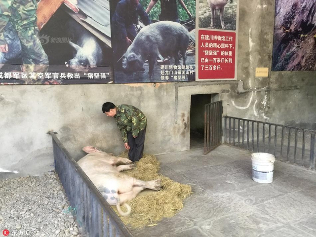 2018年4月7日,四川成都,十年前汶川地震中救起的猪坚强,成为建川博物馆的吉祥物。每天下午三点喂食的时候,都会成为游客中的明星。来源:东方IC