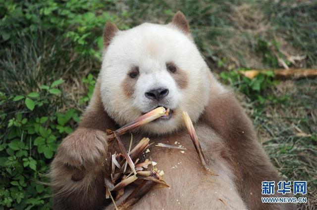 """9月7日,大熊猫七仔在陕西省珍稀野生动物抢救饲养研究中心内吃竹笋。     初秋午后的温煦阳光里,七仔平躺在草地上,""""咔呲咔呲"""",抓着鲜嫩的竹笋大快朵颐。     这只是9岁的大熊猫七仔日常生活的一个片段。圆头圆脑的七仔是个正值青春的健壮""""小伙子""""。它属于中国""""国宝""""大熊猫中一个更为珍稀、古老的种类——秦岭亚种。     七仔自身更独特的是,不同于普通大熊猫的黑白相间,它本应为黑色的皮毛部分是棕色的,看上去就像突然""""没墨了""""。陕西省大熊猫繁育中心兽医院院长马清义说,有科学记载的几次发现棕色大熊猫,都在秦岭范围内。因为极其罕有,棕色大熊猫又被称为""""宝中之宝""""。     新华社记者 张博文 摄"""
