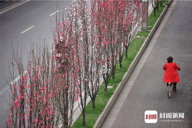 封面新闻 谭曦摄影  仅仅几日,回暖的气温就催开了成都蜀都大道总府路上的碧桃。几十株高大挺拔的碧桃树上满是星星点点的春色!远远望去,朵朵桃红尽现妖娆。  这几十株碧桃树是前几年才移栽到这里来的。满树鲜花,几乎不见一片嫩叶是它在春天里最耀眼的姿态。不过,它的花期不长,如此美景,你在总府路上一年也仅能观赏10余天。等什么,你还不来看看?