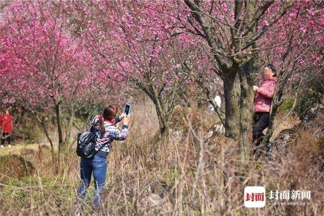 封面新闻 谭曦摄影  这几日,大邑县大坪山的梅林火遍了成都人的朋友圈,大家都被这里灿若桃花源的美丽春色所折服,盛开的梅林里满是赏花的踏春者。  不过,令人难过的是,有些赏花者为了在朋友圈里多发几张站的高看得远的美图,不惜利用爬树踩枝的方式跻身于花丛中,更有甚者还摘上几枝,想把春意带回家。  如此赏花很伤花,劝君莫把树来爬!