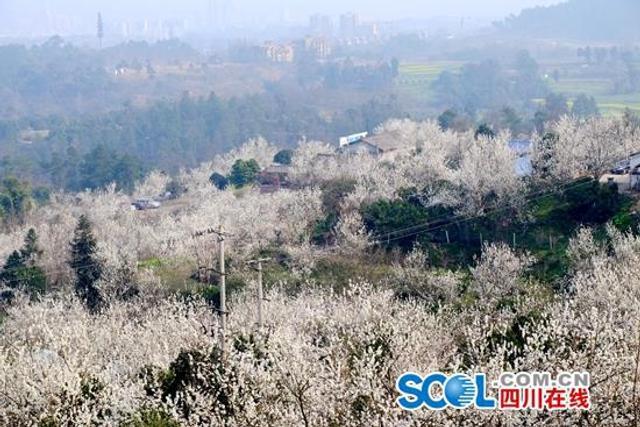 """""""樱桃花万树,春来也灼灼。""""远远望去,蒲江的樱桃山上,大片大片红白相间的花海,环绕着错落有致的村舍,如一幅美妙的中国画。四川在线消息(记者 冉倩婷 摄影报道)"""