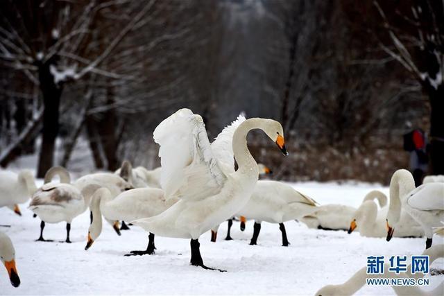 1月4日,天鹅在山西平陆黄河湿地嬉戏。