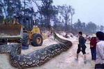 大蛇吃人事件_桂平挖蛇事件是真的吗?17米大蛇吓晕司机