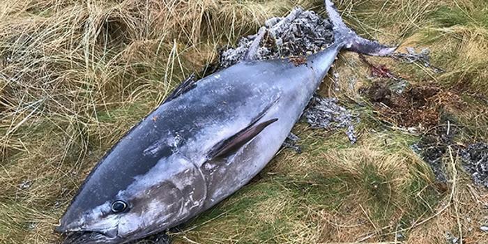 日本再提議增藍鰭金槍魚捕撈配額 去年遭美國否決