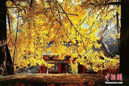 山东泰安寺院千年银杏树遍洒金黄 演绎秋天童话