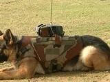 各國均裝備戰斗機器人,印度卻調教偵察狗,這是給敵人送狗肉煲?